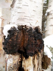 Chaga growing on Birch