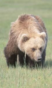 Brownbear2