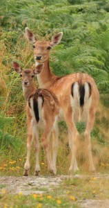 Fallow Deer Doe and Fawn edit