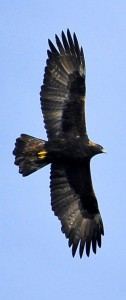 Golden Eagle2