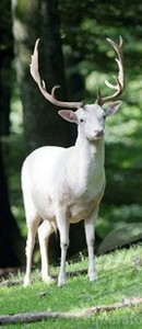 albino fallow deer