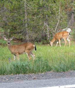 black-tailed deer edit