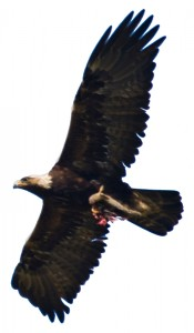 Golden_Eagle_flying-white