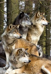 wolves-pack2